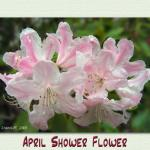 april_shower_flower